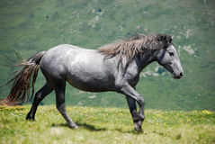 Cheval sauvage en nature Image stock