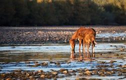 Cheval sauvage et son poulain Photographie stock