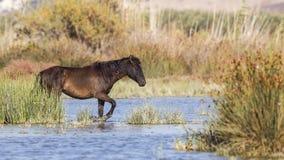 Cheval sauvage foncé de Brown en eau peu profonde Images libres de droits