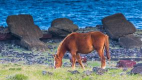 Cheval sauvage frôlant près de Moai tombé sur l'île de Pâques images stock