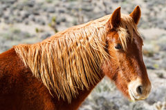 Cheval sauvage occidental Image stock