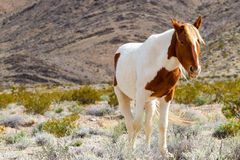 Cheval sauvage occidental Photographie stock
