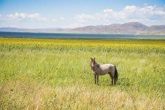 Cheval sauvage sur le rivage du réservoir Bukhtarma Photographie stock