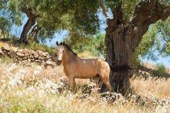 Cheval se cachant du soleil un jour très chaud sous un olivier dans le verger olive Andalousie, Andalousie, Espagne l'europe photos libres de droits