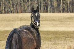 Cheval se penchant sa tête sur le dos d'un autre cheval Photo stock