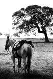 Cheval sellé attendant pour aller pour une conduite Photographie stock libre de droits