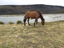 Cheval seul dans des prairies de Patagonia image stock