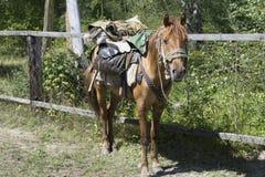 Cheval sibérien de chasseur image stock