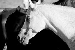 Cheval somnolent à la ferme Images libres de droits