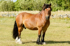 Cheval suédois du nord Photo stock