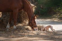 Cheval sur la nature Le portrait d'un cheval, cheval brun, cheval se tient dans le pré photos stock