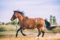 Cheval sur la nature Portrait d'un cheval, cheval brun Image libre de droits