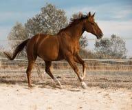 Cheval sur la nature Portrait d'un cheval, cheval brun photographie stock