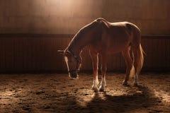 Cheval sur la nature Portrait d'un cheval, cheval brun photo libre de droits
