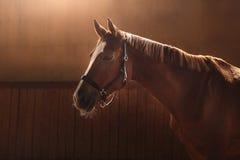 Cheval sur la nature Portrait d'un cheval, cheval brun images libres de droits