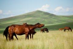 Cheval sur la plaine de Hulun Buir Image libre de droits