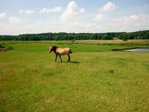 Cheval sur le pâturage photo libre de droits