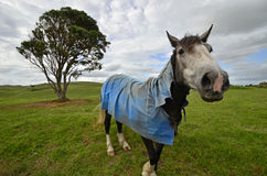 Cheval sur le pré avec le manteau bleu Image stock