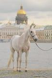 Cheval sur le quai de la rue - Pétersbourg Photo libre de droits
