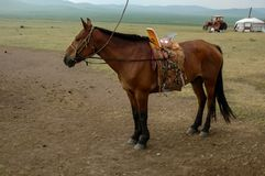Cheval sur un pâturage d'été en Mongolie Image stock