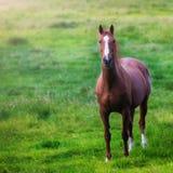 Cheval sur un pré vert Photos libres de droits