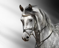 cheval Tacheter-gris (Arabe) Photographie stock libre de droits