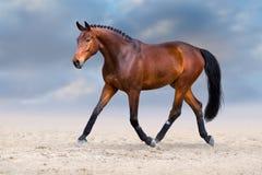 Cheval trottant dans le désert photographie stock libre de droits