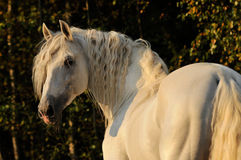 Cheval, white horse in autumn. White horse pura raza espanola, andalusian cheval in autumn Stock Images