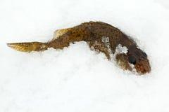 Chevalier combattant sur la neige Image libre de droits