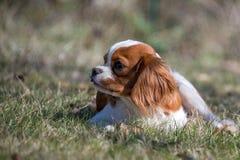 Chevalier king puppy newborn baby portrait. Chevalier king dog puppy newborn baby portrait Royalty Free Stock Images