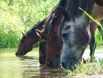 Chevaux à un endroit d'arrosage par la rivière photos stock