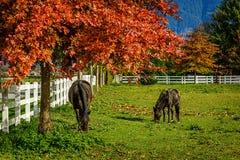 Chevaux à une ferme en Colombie-Britannique, Canada Images libres de droits