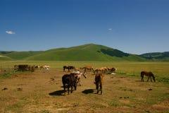 chevaux Photo libre de droits