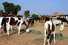 Chevaux, alimentant, Inde Photographie stock