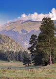 Chevaux alpins de pâturage Photos libres de droits