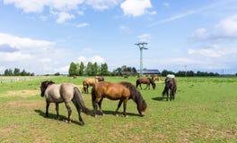 Chevaux animaux de ferme justes sur le pré Photographie stock libre de droits