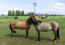 Chevaux animaux de ferme sur le pré Photo stock