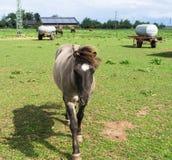 Chevaux animaux de ferme sur le pré Photographie stock libre de droits