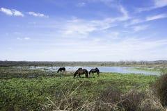 Chevaux au parc d'état de prairie de Paynes Photo libre de droits