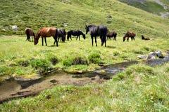 Chevaux au pré près du flot, montagne de Caucase Image stock