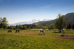 Chevaux au Tyrol Photographie stock libre de droits