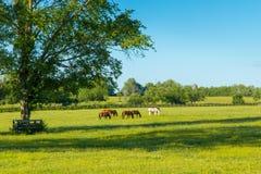 Chevaux aux pâturages verts des fermes de cheval photos stock