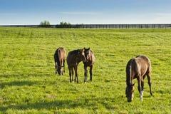 Chevaux aux terres cultivables au Kentucky Image libre de droits