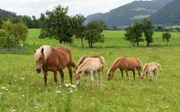 Chevaux avec des poulains dans le pâturage, Autriche Images libres de droits