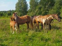 Chevaux avec leurs poulains dans le pâturage, région de Tver, Russie Image stock