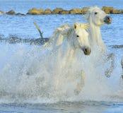 Chevaux blancs courants de Camargue image stock