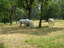 Chevaux blancs dans Lipica - Slovenien Photos libres de droits