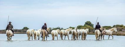 Chevaux blancs de camargue Cavaliers et chevaux blancs de Camargue dans l'eau de la rivière Photos stock