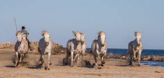 Chevaux blancs de Camargue galopant sur le sable Image libre de droits