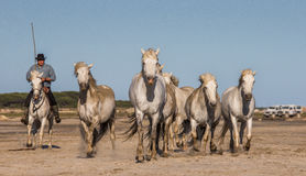 Chevaux blancs de Camargue galopant sur le sable Photos libres de droits